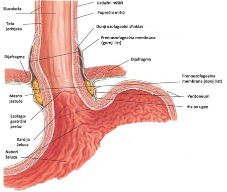 anatomy and physiology of the foregut - reflux centar beograd, Human Body